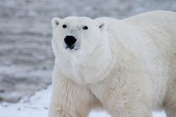 polar-bear-arctic-wildlife-snow-53425